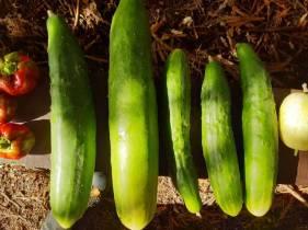 Long green cucumbers